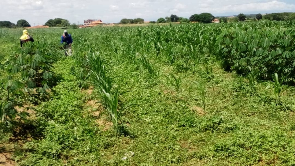 46 hectáreas de maíz se cultivan en el Jardín Botánico