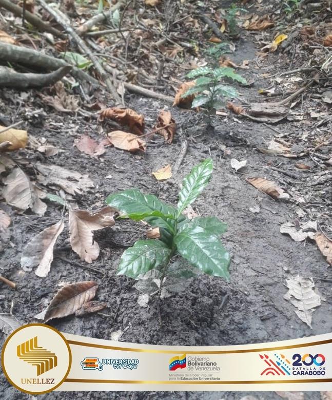 Unellez cultiva treinta mil semillas de café criollo Monteclaro
